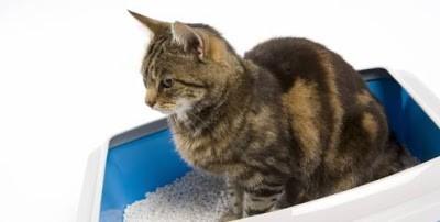 Gatos que urinam fora da caixa sanitária 1