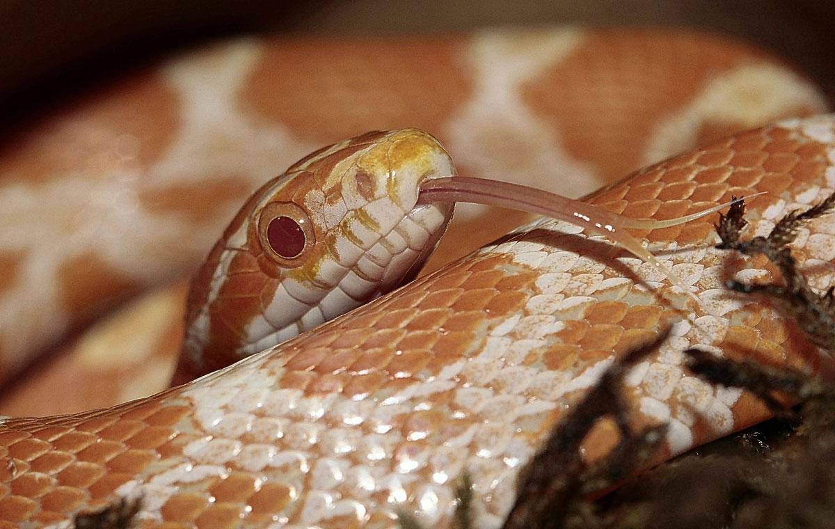 Cobra como animal de estimação: saiba mais 1