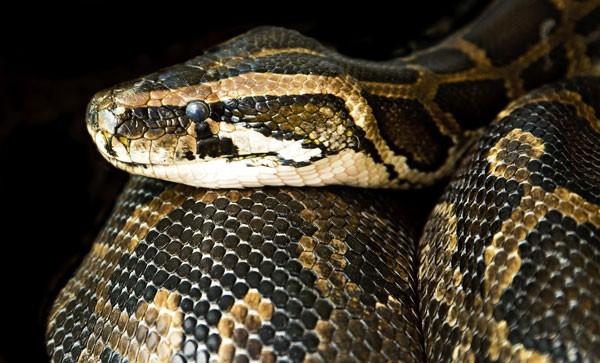 Cobra como animal de estimação: saiba mais 2