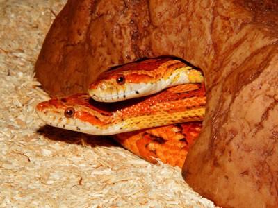 Cobra como animal de estimação: saiba mais 3