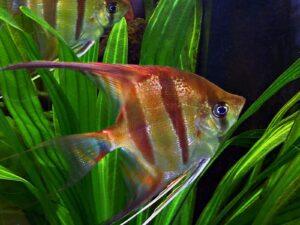 Peixes que não podem viver juntos em um aquário 2