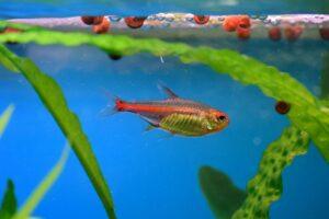 Peixes que não podem viver juntos em um aquário 3