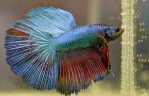 Peixes que não podem viver juntos em um aquário 4