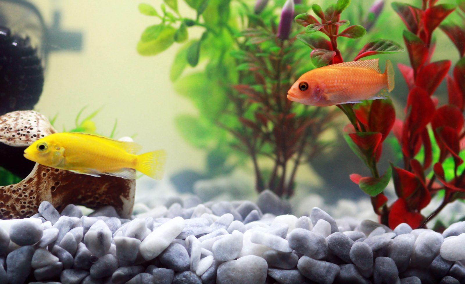 Peixes que não podem viver juntos em um aquário 1