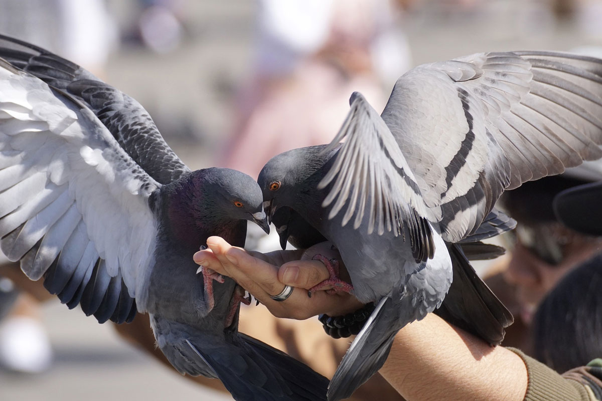 """Preconceito leva à """"guerra contra os pombos"""" 1"""