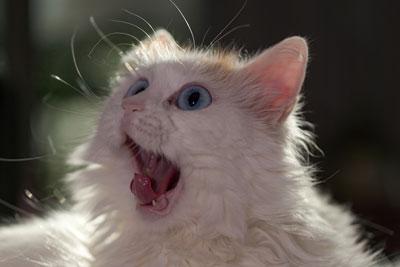 Gatos têm mais expressões faciais do que podemos perceber 4