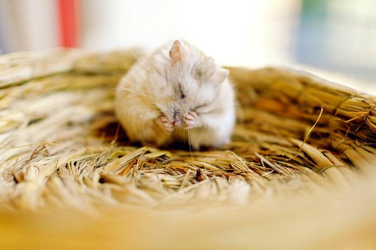 Bola de pelo: sabia que o problema também afeta os roedores? 1