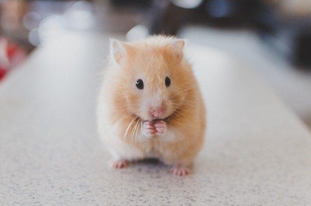 Bola de pelo: sabia que o problema também afeta os roedores? 2