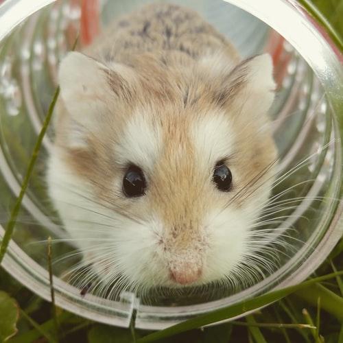 Bola de pelo: sabia que o problema também afeta os roedores? 4