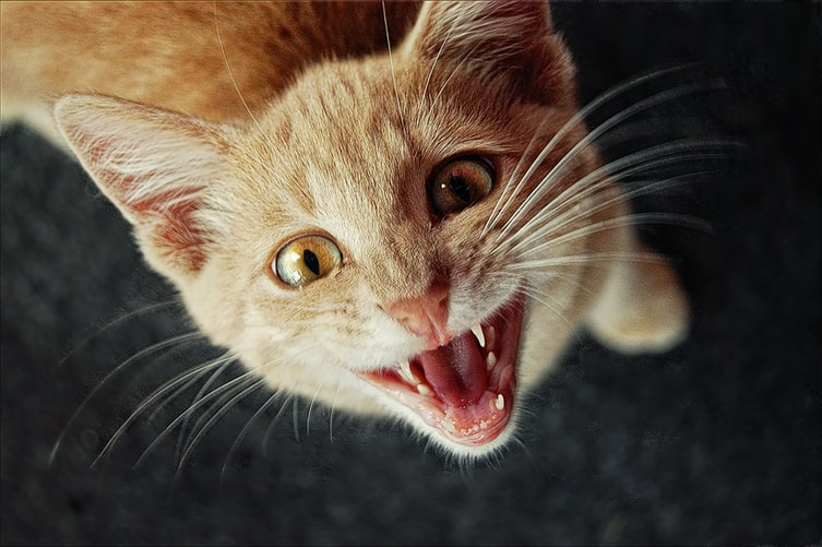 Miados: entenda o que o seu gato está querendo dizer 1