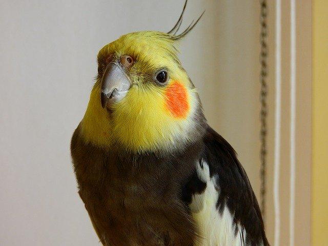 Calopsita: Dicas e curiosidades sobre essa ave tão fascinante! 3