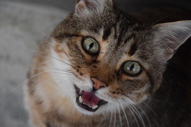 Miados: entenda o que o seu gato está querendo dizer 2