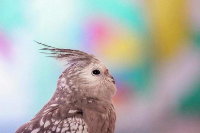 Calopsita: Dicas e curiosidades sobre essa ave tão fascinante! 9