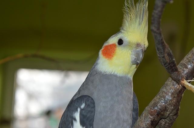 Calopsita: Dicas e curiosidades sobre essa ave tão fascinante! 5