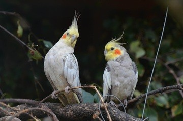 Calopsita: Dicas e curiosidades sobre essa ave tão fascinante! 8