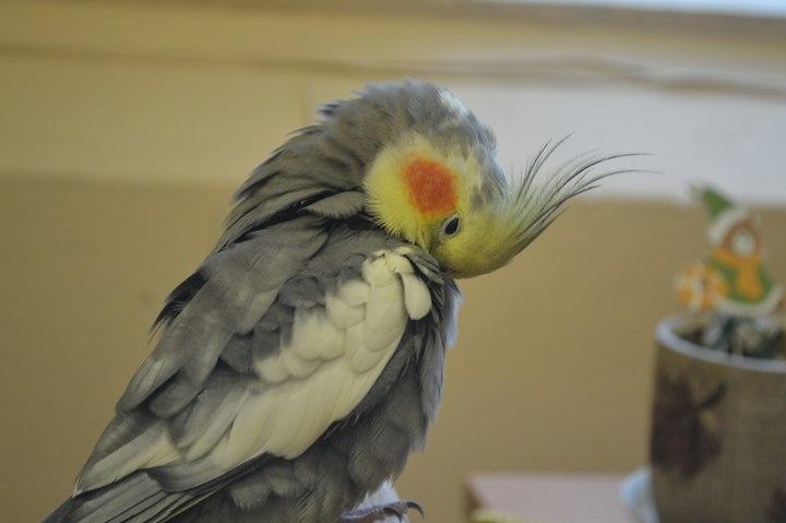 Calopsita: Dicas e curiosidades sobre essa ave tão fascinante! 10