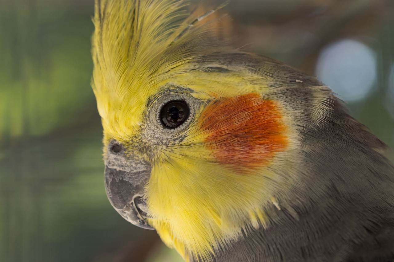 Calopsita: Dicas e curiosidades sobre essa ave tão fascinante! 1