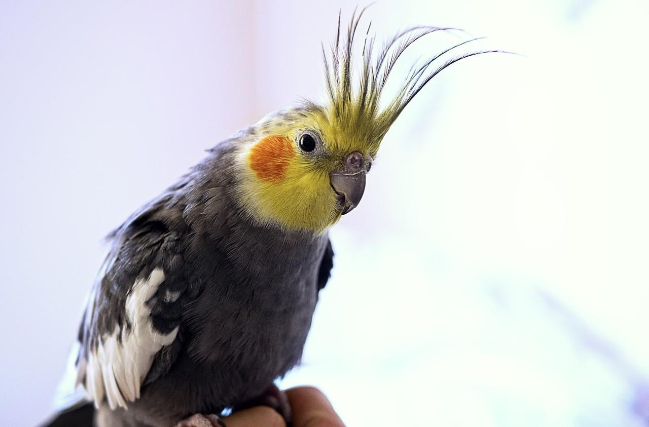 Calopsita: Dicas e curiosidades sobre essa ave tão fascinante! 6