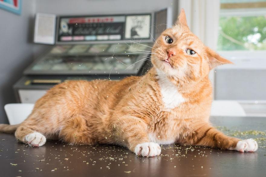 Fotógrafo registra imagens hilárias de gatos sob o efeito de Catnip 19