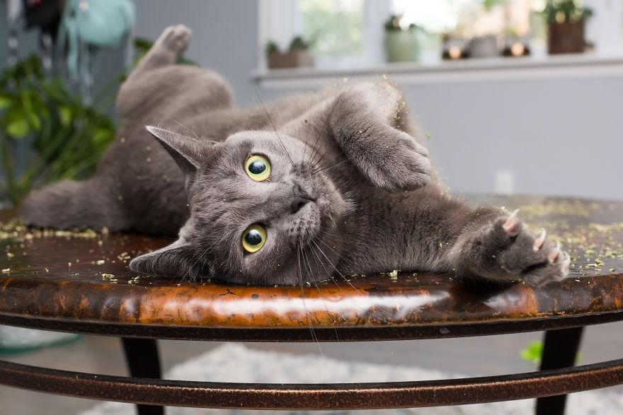 Fotógrafo registra imagens hilárias de gatos sob o efeito de Catnip 14