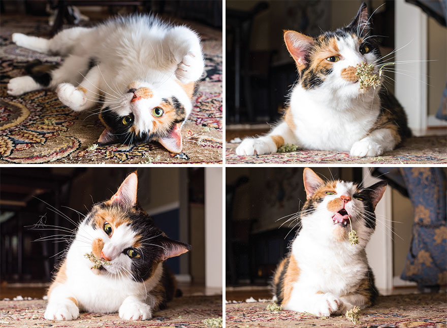 Fotógrafo registra imagens hilárias de gatos sob o efeito de Catnip 15