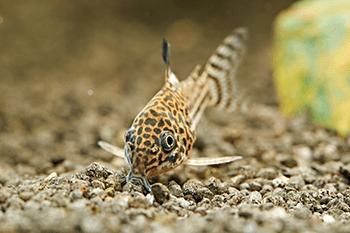 A Turma da Faxina: Animais que limpam o seu aquário 6