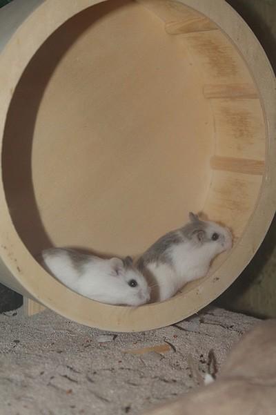 Tudo o que você precisa saber sobre Hamsters: Características, cuidados, dicas e curiosidades 11