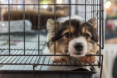 Cruzar ou não? Você faz questão de ter um cão de raça? 7