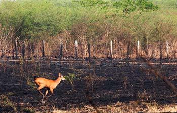Pantanal sofre a maior devastação de sua história enquanto voluntários lutam para salvar os animais 11