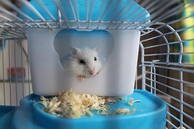 Tudo o que você precisa saber sobre Hamsters: Características, cuidados, dicas e curiosidades 6