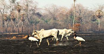 Pantanal sofre a maior devastação de sua história enquanto voluntários lutam para salvar os animais 2