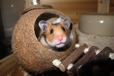 Tudo o que você precisa saber sobre Hamsters: Características, cuidados, dicas e curiosidades 13