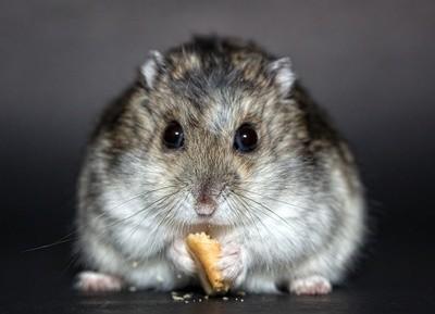 Tudo o que você precisa saber sobre Hamsters: Características, cuidados, dicas e curiosidades 16