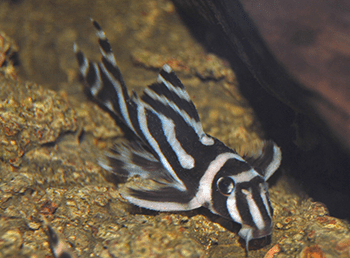 A Turma da Faxina: Animais que limpam o seu aquário 2