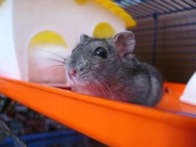 Tudo o que você precisa saber sobre Hamsters: Características, cuidados, dicas e curiosidades 7