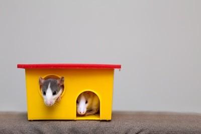 Tudo o que você precisa saber sobre Hamsters: Características, cuidados, dicas e curiosidades 2