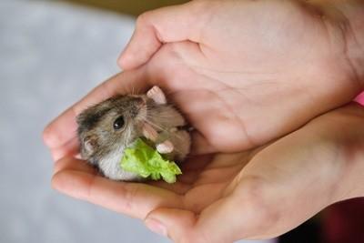 Tudo o que você precisa saber sobre Hamsters: Características, cuidados, dicas e curiosidades 9