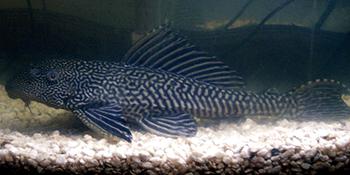 A Turma da Faxina: Animais que limpam o seu aquário 3