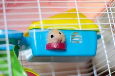 Tudo o que você precisa saber sobre Hamsters: Características, cuidados, dicas e curiosidades 4