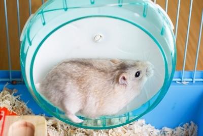 Tudo o que você precisa saber sobre Hamsters: Características, cuidados, dicas e curiosidades 10