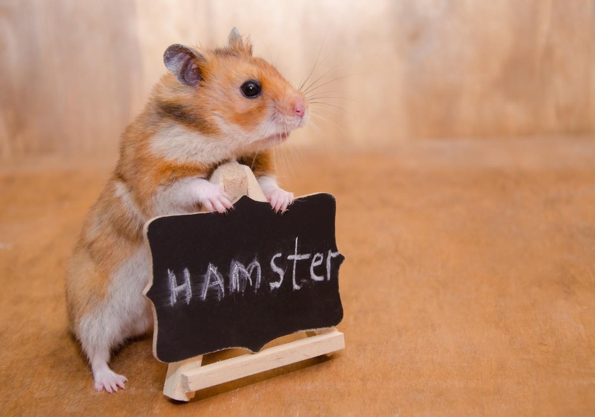Tudo o que você precisa saber sobre Hamsters: Características, cuidados, dicas e curiosidades 1