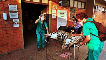 Pantanal sofre a maior devastação de sua história enquanto voluntários lutam para salvar os animais 8