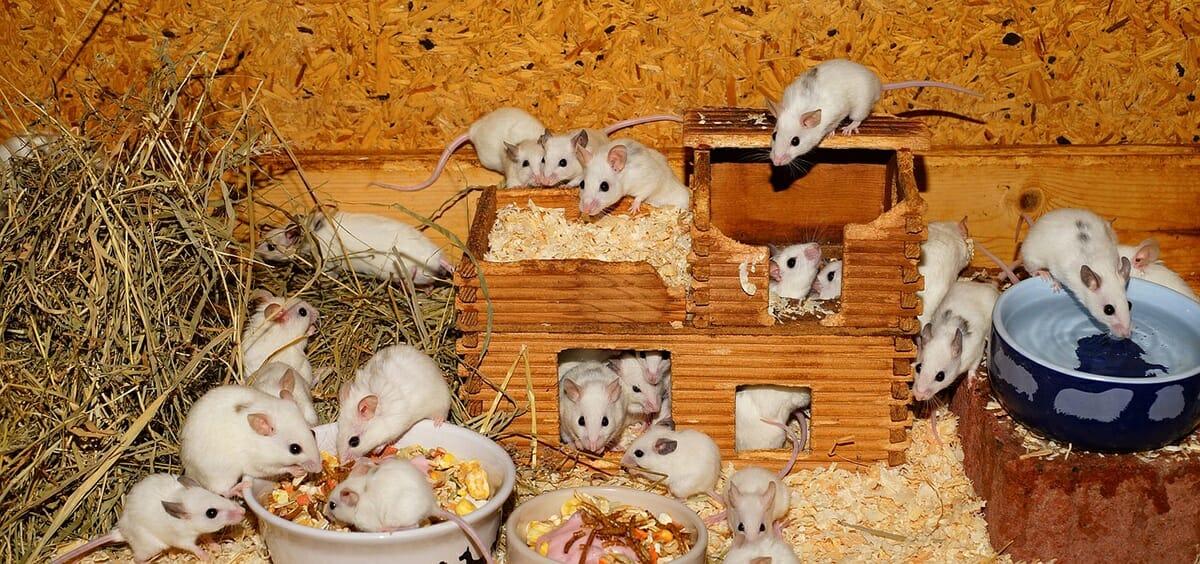 Camundongos: Características e Cuidados  desse Pet tão Fofo! 1