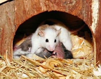 Camundongos: Características e Cuidados  desse Pet tão Fofo! 10