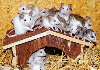 Camundongos: Características e Cuidados  desse Pet tão Fofo! 7