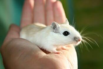 Camundongos: Características e Cuidados  desse Pet tão Fofo! 4