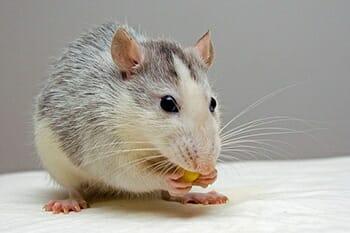 Camundongos: Características e Cuidados  desse Pet tão Fofo! 9