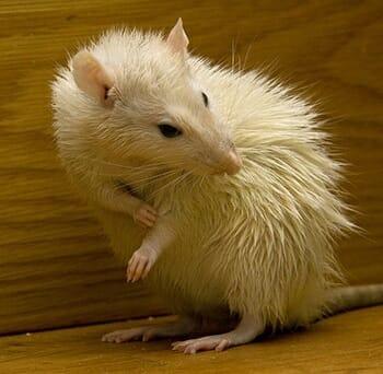 Camundongos: Características e Cuidados  desse Pet tão Fofo! 8