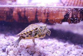 Aquaterrário: O Habitat Ideal para Tartarugas de Aquáticas 5