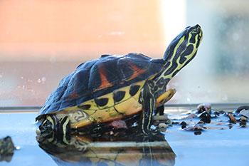 Aquaterrário: O Habitat Ideal para Tartarugas de Aquáticas 7